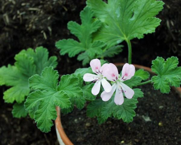 Pelargonium ´Sweet Mimose`(I.11cmT.)