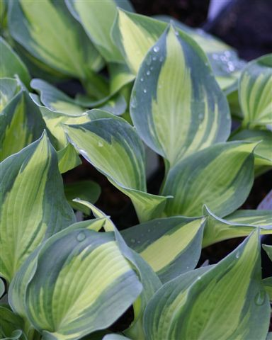 Hosta ´Lakeside Cup Cake` (i.11cmT)
