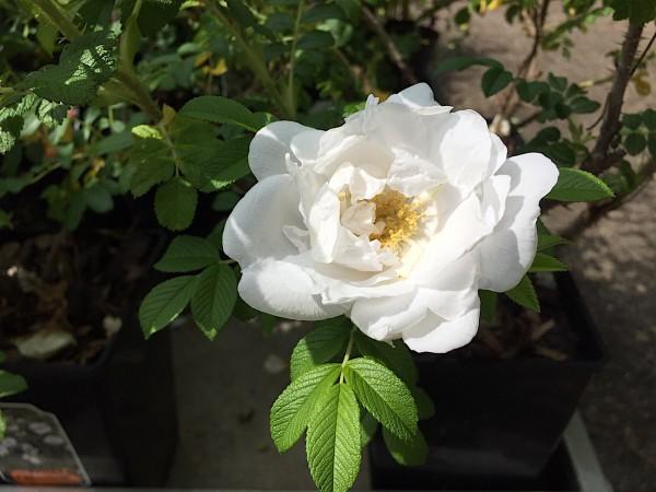 "Rosa rugosa ""Schnee Eule®"" (i.3lT.)"
