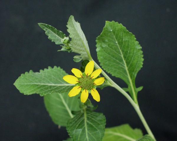 Berlandiera lyriata (i. 12cm Topf) Schokoladenblume
