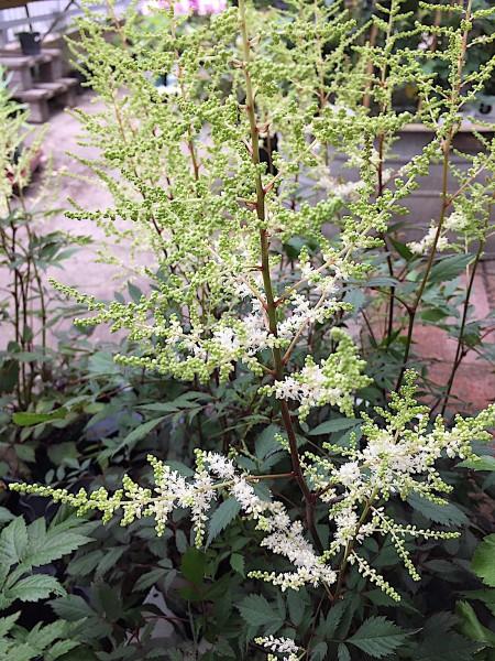"Astilbe japonica ""Happy Spirit"" ® (i.11cmT.), Prachtspiere"