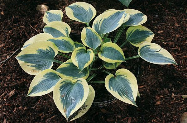 "Hosta ""Autumn Frost"" R (i.9cmT.), Funkie"