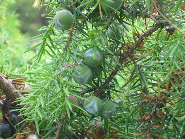 "Juniperus communis ""Mey"" (i.12 cm T.) Wacholder, essbar"