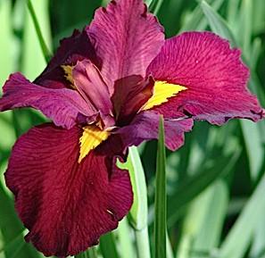 """Iris """"Ann Chowing"""" (i.9cmT. Garten-Sumpf Schwertlilie"""