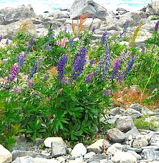 """Lupinus polyphyllus """"Blau Variationen aus Neuseeland"""" Lupine (i.11cmT.)"""