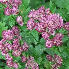 "Astrantia major ""Roma""; (i.11cmT.) Sterndolde"