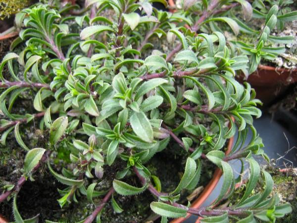 Satureja montana ssp. citriodora (i.12cm T.) Zitronen-Bergbohnenkraut