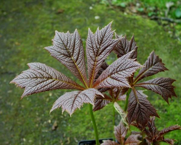 "Rodgersia podophylla ""Rotlaub"" (i.11cmT.) Schaublatt"