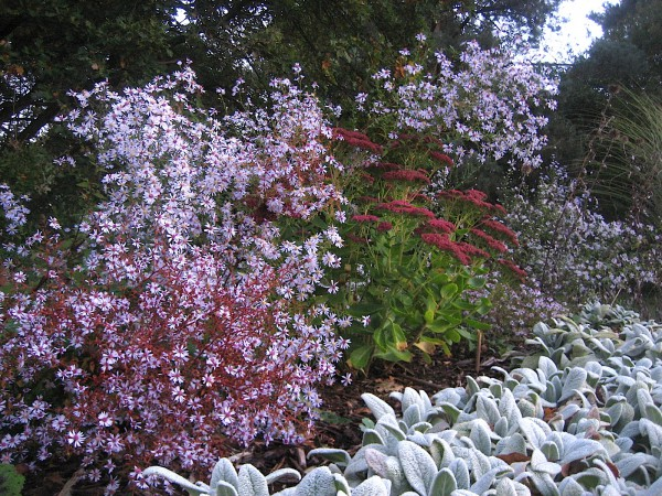 "Aster ericoides ""Virginiana"" (i.14cmT.) Virginia Herbst Aster"
