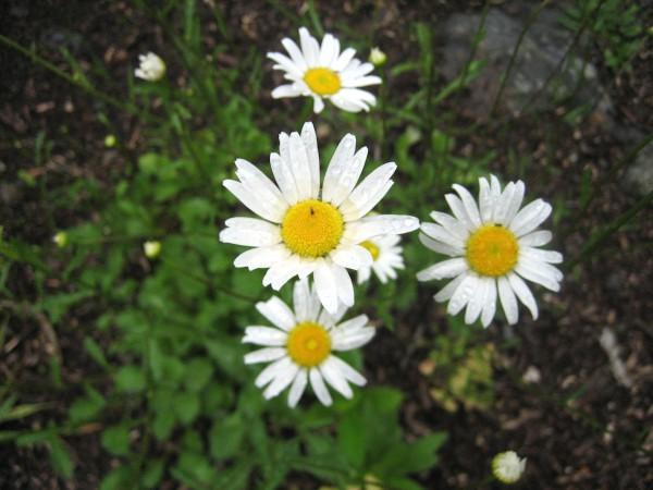 """Chrysanthemum leucanthemum """"Maikönigin""""( i. 12cmT.) Frühlingsmargaritte"""