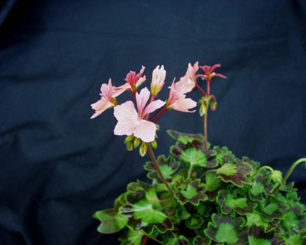 "Pelargonium Sternblütige ""Firework"" lachs (i.11cmT.)"