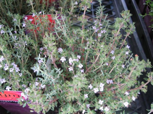 Thymus fragrantissimus (i.13 cm T.) Orangenthymian