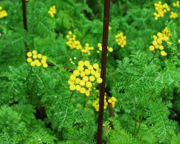 Tanacetum vulgare var. crispum (i.12cmT.) Krauser Rainfarn