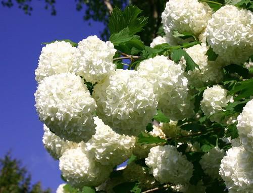 """Viburnum opulus """"Roseum"""" (6lT.) Echter Schneeball"""