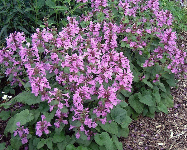 "Stachys grandiflora ""Superba"" (i.15cmT.) Purpur-Ziest"