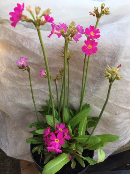 """Primula rosea """"Grandiflora"""" (i.9cmT.)"""