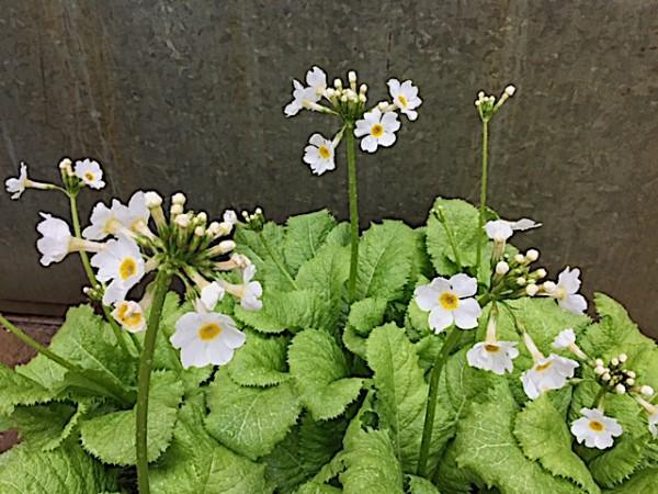 "Primula japonica ""Alba"" (i.12cmT.),Etagen-Primel, Sumpf Primel"