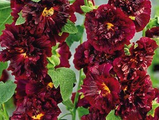 "Alcea rosea ""Chaters double scarlet"" Stockrose (i. 9cmT.)"