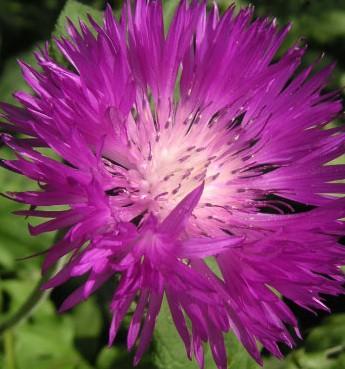 Centaurea dealbata (i.11cm T.) Flockenblume