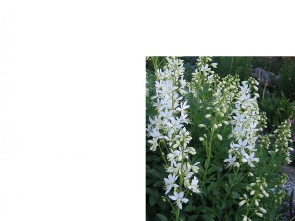 """Dictamnus albus """"Albiflorus"""" (i.9cm T.) Diptam; Brennender Busch"""