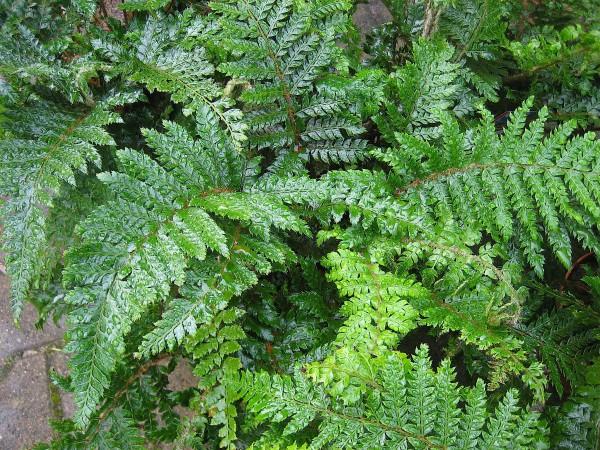 "Polystichum polyblepharum ""Jade""(17cmTopf) Japanischer Glanzschildfarn"