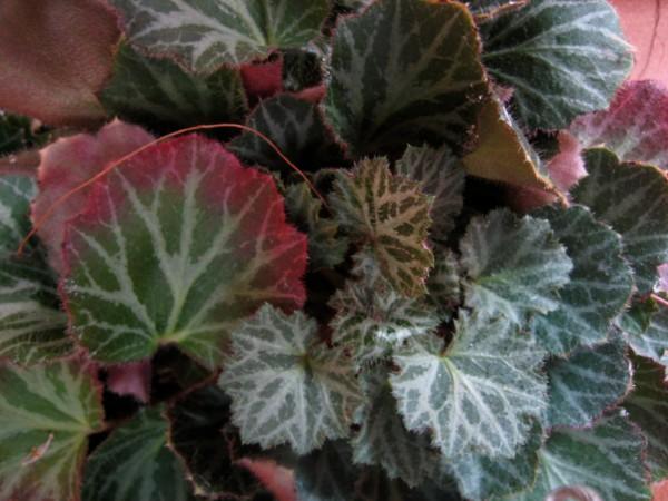 Saxifraga stolonifera (i.9cmT.) Judenbart