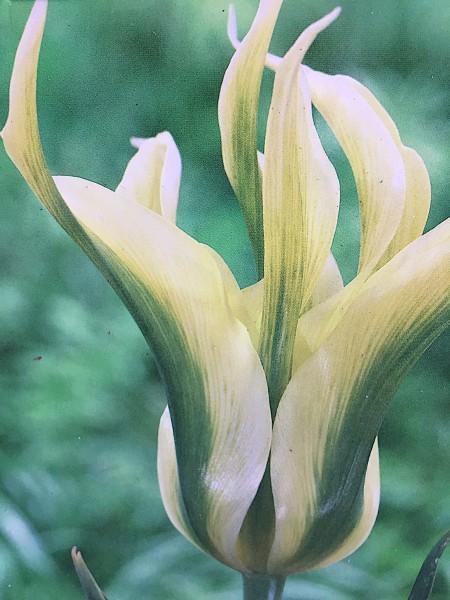 "Tulipa ""Green Triumphator"" (7 i. Pack), Tulpe, Lilien blütige"