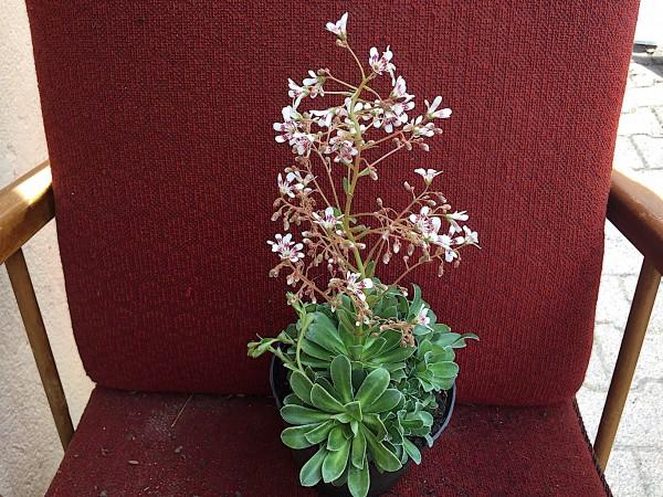 """Saxifraga cotyledon """"Southside Seedling"""" (i.13cmT.)"""
