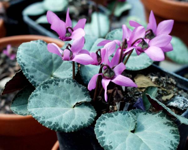 """Cyclamen Duft purpurascens (europ.) """"Ahlburg"""" (i.9cmT.)"""