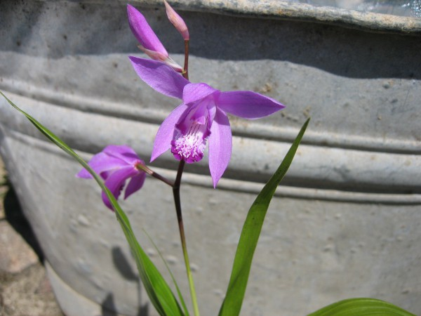 Bletilla striata (i.12cm T.) Freiland Orchidee