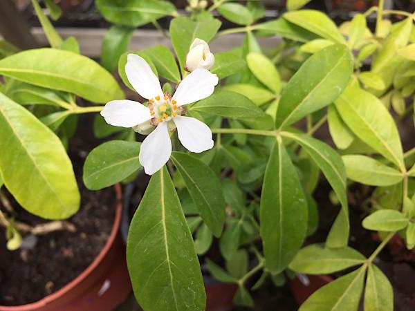 Choisya ternata (i.11cmT.), Orangen Blume