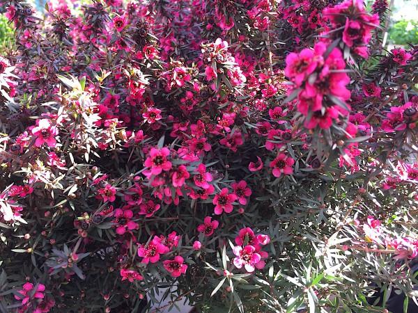 Leptospermum auf Stamm rot (i.12 cmT.), Australischer Teestrauch, Tea Tree, Südsee Myrthe