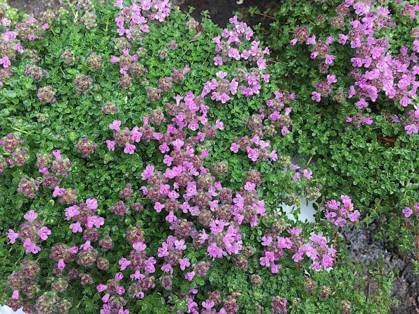 Thymus praecox ´Pygmaeus`(i.11cmT.), Thymian