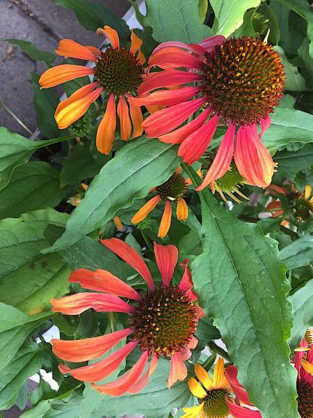 """Echinacea purpurea """"orange""""(i.11 cm T.), Sonnenhut"""