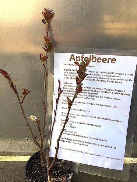 "Aronia melanocarpa ""Nero"" (i.13cmT.), Apfelbeere"