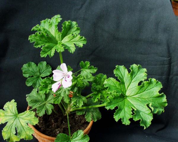 Pelargonium ´Goptorne`(I.11cmT.)