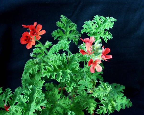 Pelargonium `Moores Victory`(I.11cmT.)