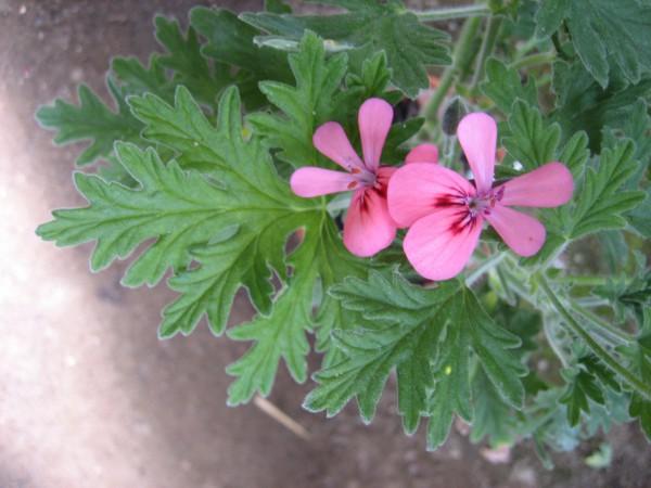 Pelargonium ´Rollers Satinique`(I.11cmT.)
