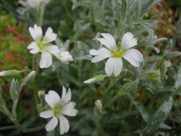 """Cerastium tomentosum """"Silberteppich"""" (i.9cmT.) Garten-Teppich-Hornkraut"""