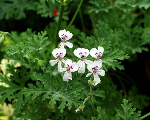 Pelargonium ´Catharina`(I.11cmT.)