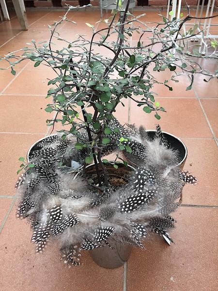 Corokia cotoneaster aus Neuseeland (i.12cmT.)dekoriert, jetzt ca 40 cm hoch