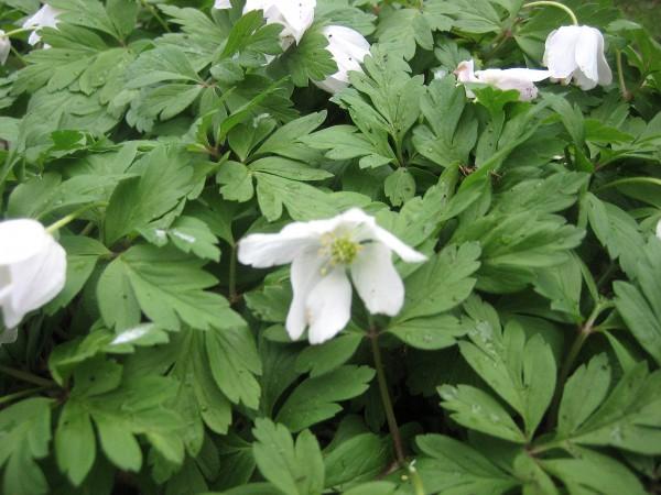 Anemone nemorosa (i.9cmT.) Buschwindröschen