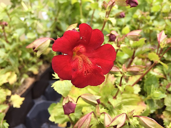 """Mimulus """"Bonfire Red"""" (i.9cmT.), rote Gauklerblume"""