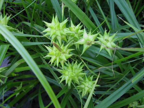 Carex grayii (i.16cm T.), Morgen Stern Segge