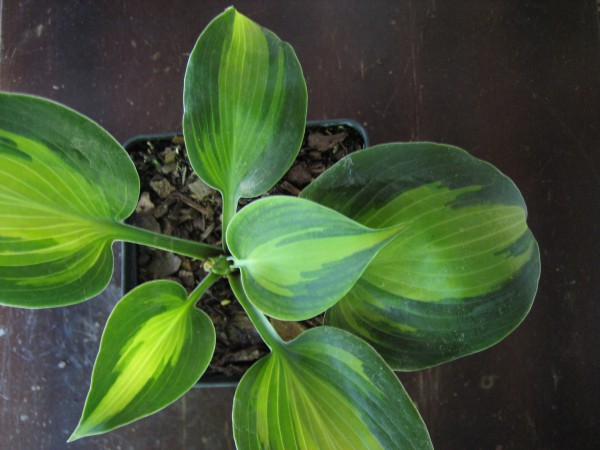 """Hosta """"Touch of Class"""" (i.11cmT.) Duft Funkie"""