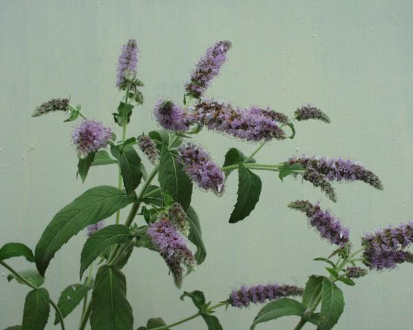 Mentha longifolia (i.11cm T.) Roßminze