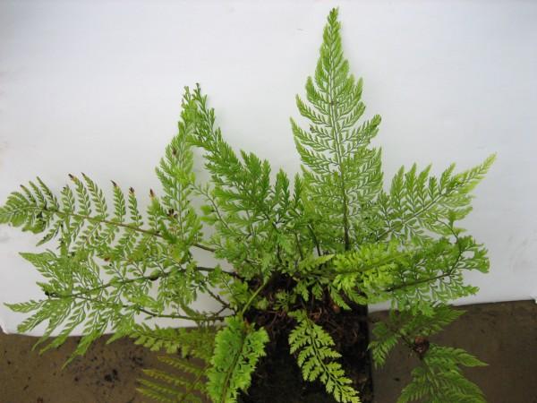"""Polystichum setiferum """"Pulcherimum Bevis"""" (i.9cmT.), Schildfarn"""