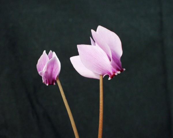 "Cyclamen hederifolium ""Hellrosa Großblütig"" (i.9cmT.)"