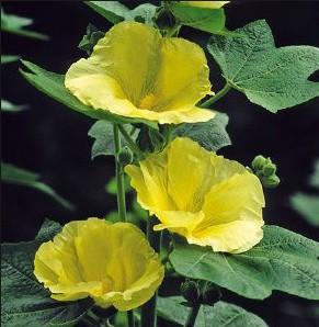 """Alcea rosea """"Sunshine"""" gelb (i.9cmT.) Stockrose"""