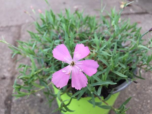"Dianthus gratianopolitanus ""La Bourboule"" (i.11cmT.), Zwerg Pfingst Nelke"